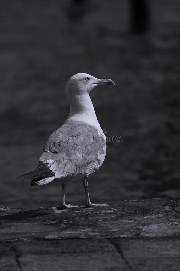 Seagulls στη Βενετία, άποψη κινηματογραφήσεων σε πρώτο πλάνο στη Βενετία στοκ εικόνα με δικαίωμα ελεύθερης χρήσης