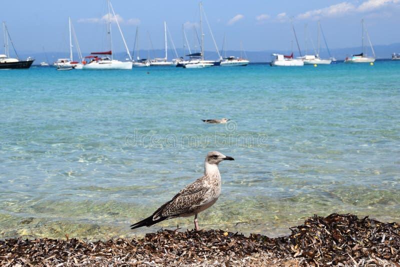 Seagulls στο νησί Porquerolles στη Γαλλία στοκ εικόνες