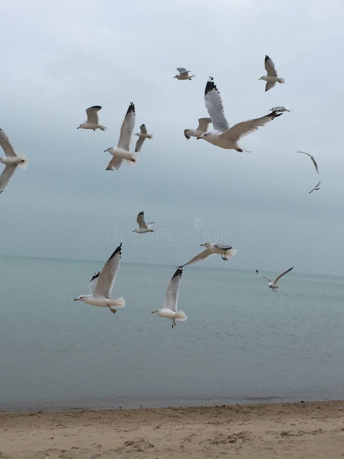 Seagulls του Μίτσιγκαν λιμνών στοκ φωτογραφίες