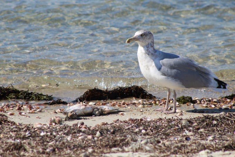 Seagulls χρόνος πρόχειρων φαγητών στοκ φωτογραφία με δικαίωμα ελεύθερης χρήσης