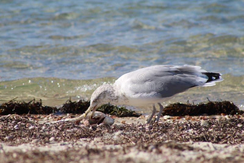Seagulls χρόνος πρόχειρων φαγητών στοκ εικόνα
