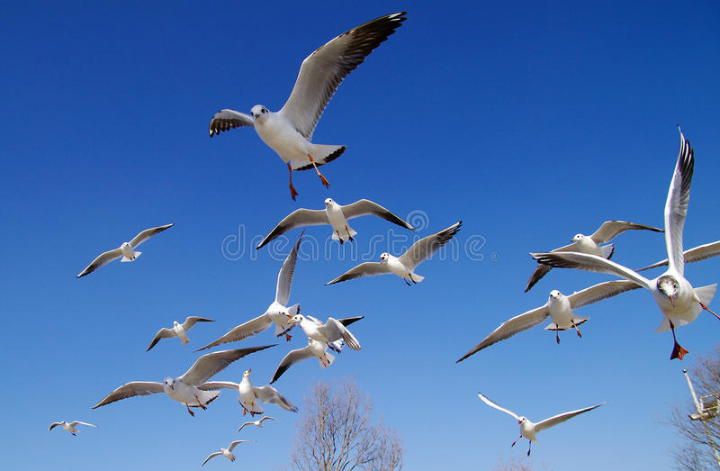 Download Seagulls stock photo. Image of white, china, yunnan, flying - 13577156