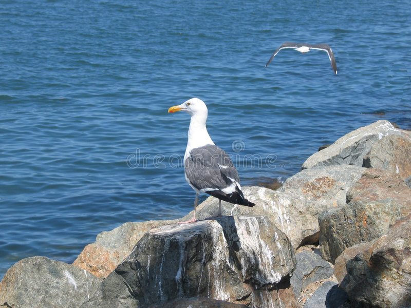 Download Seagulls stock image. Image of ocean, water, wave, stint - 155275