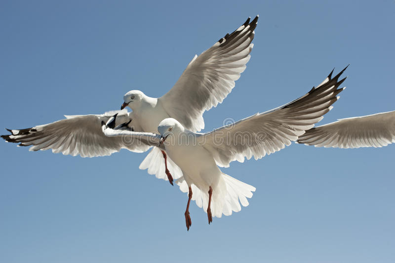 Download Seagulls stock image. Image of seagulls, nature, flight - 20229975