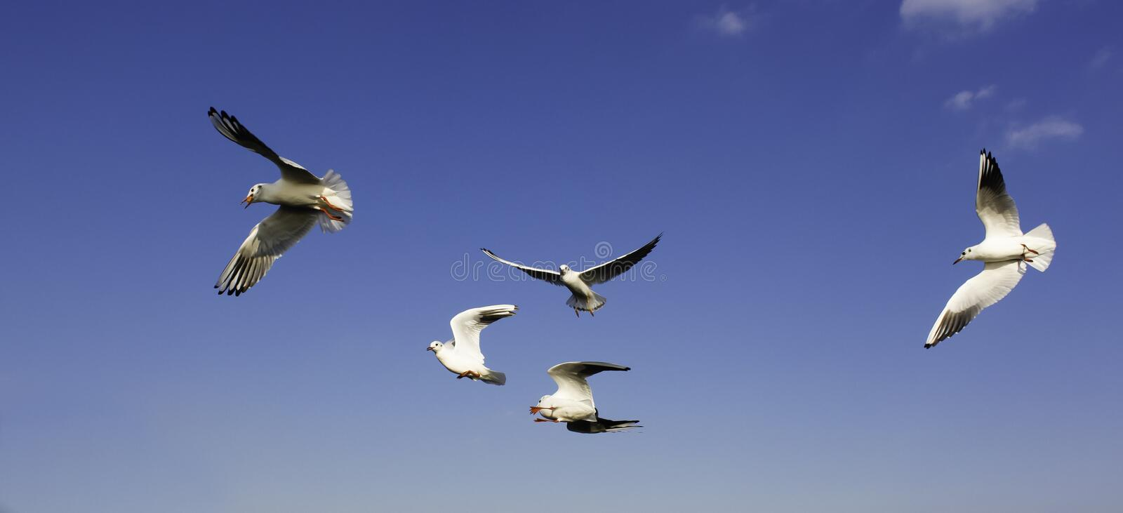 Download Seagulls stock photo. Image of swirl, flying, blue, free - 27534732