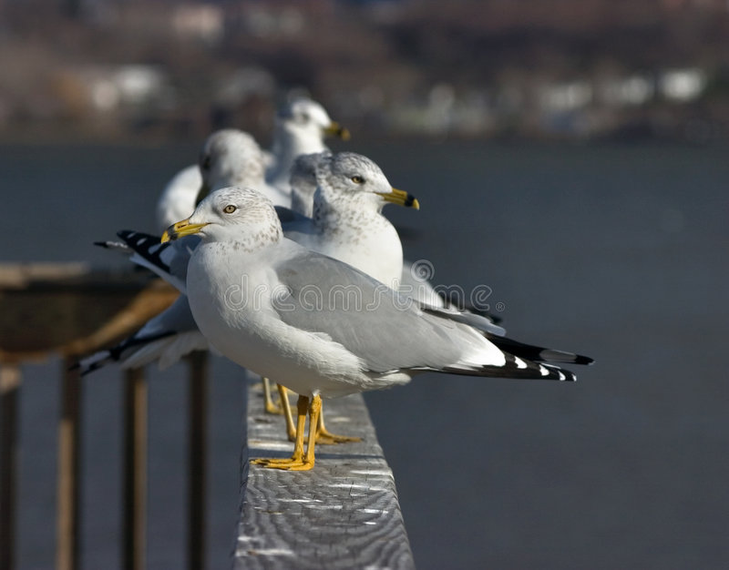 Download Seagulls stock photo. Image of feathers, gray, bird, wing - 44994
