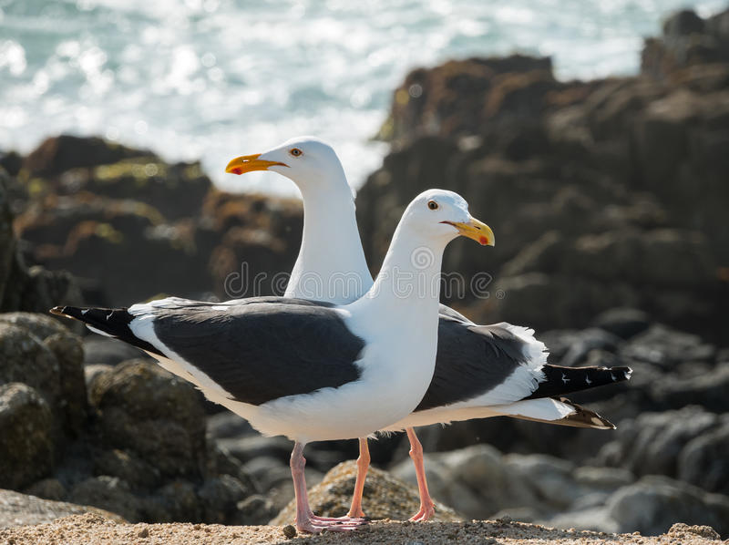 Seagulls στοκ φωτογραφίες