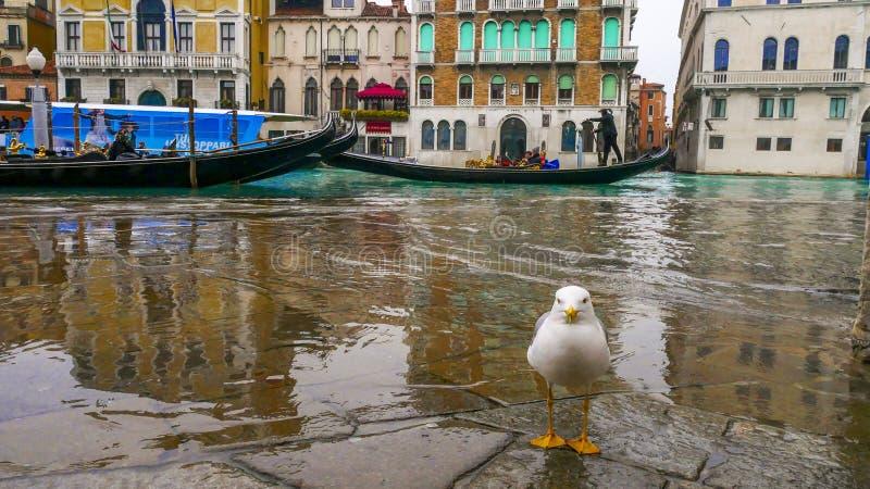 Seagulls agresywni ptaki które adaptują żyć w mieście obrazy royalty free