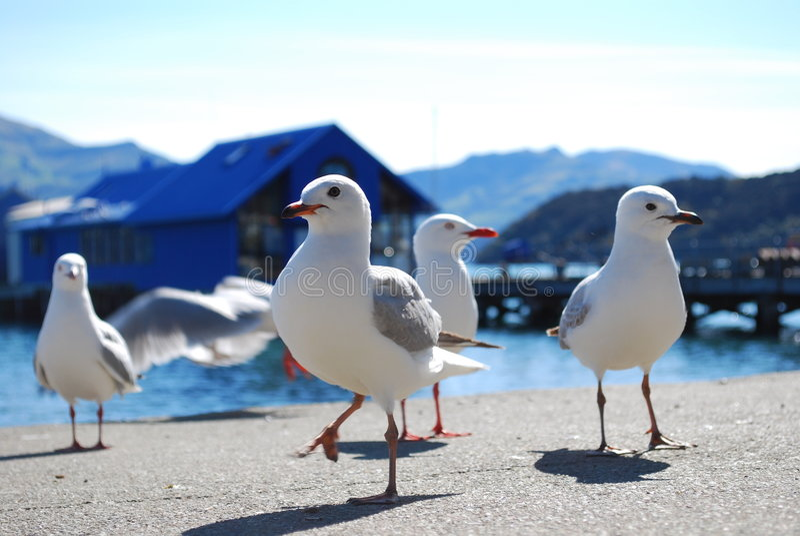 Seagulls at Akaroa,new zealand royalty free stock images