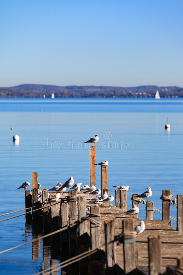 Seagulls on Ammersee. Seagulls enjoy the autumn sun on a footbridge at the foot of the Ammersee royalty free stock images