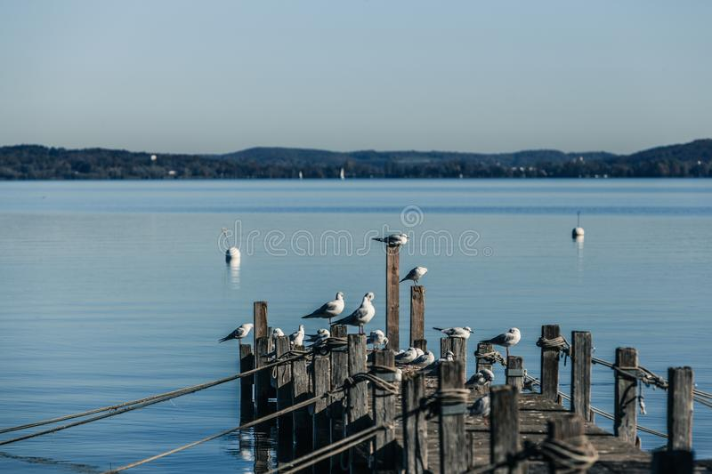 Seagulls on Ammersee. Seagulls enjoy the autumn sun on a footbridge at the foot of the Ammersee royalty free stock photos