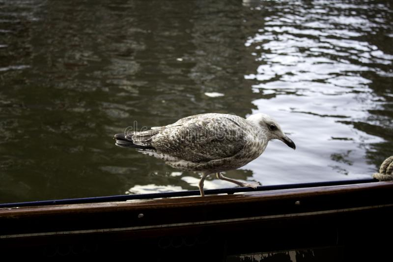 Seagulls in Amsterdam. Seagulls on boats and Amsterdam canal, wild birds, sunlight, flight, young, plumage, ocean, sunshine, solitary, avian, horizontal royalty free stock photos