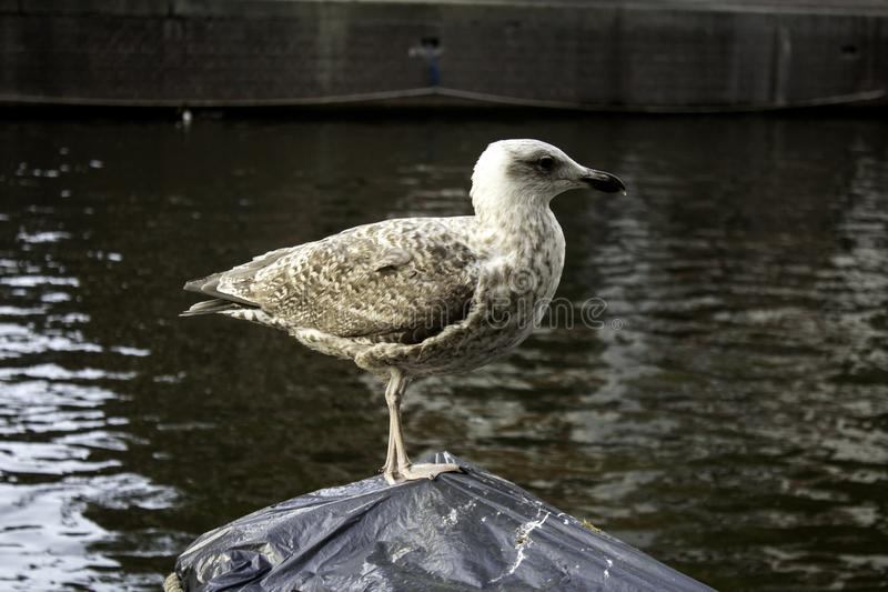 Seagulls in Amsterdam. Seagulls on boats and Amsterdam canal, wild birds, sunlight, flight, young, plumage, ocean, sunshine, solitary, avian, horizontal stock photo