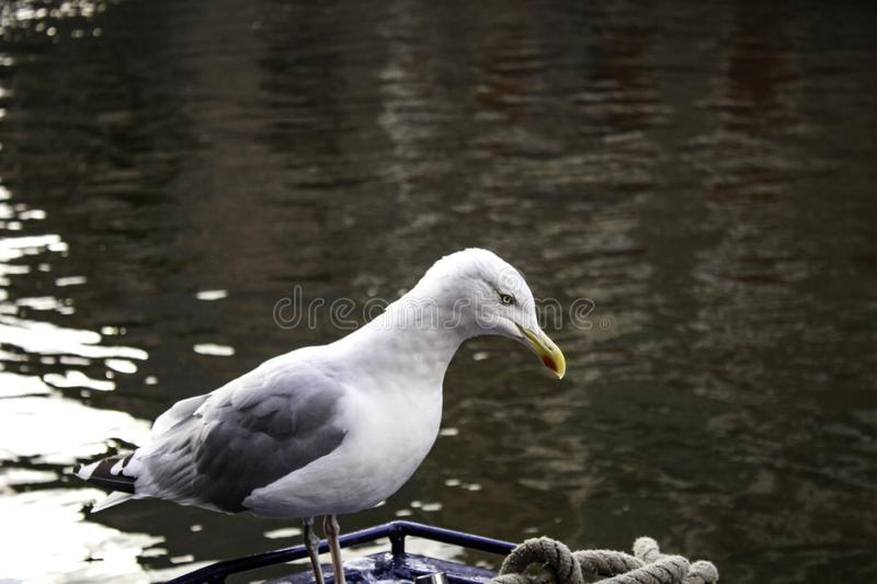 Seagulls in Amsterdam. Seagulls on boats and Amsterdam canal, wild birds, sunlight, flight, young, plumage, ocean, sunshine, solitary, avian, horizontal royalty free stock photo
