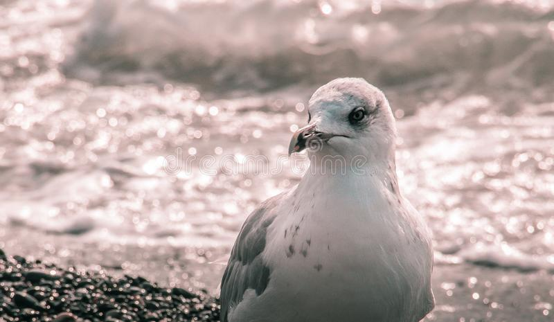 Seagulls as a business card of the sea. Black sea. a portrait of the animal. ornithology. sea. waves. sea water royalty free stock images