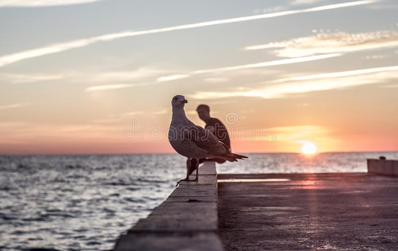 Seagulls as a calling card of the sea. Birds. black sea. a portrait of the animal. ornithology. sea. waves. sea water. Sunset. sea sunset. horizon royalty free stock photography