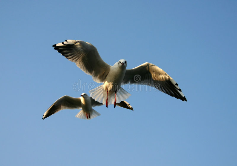 Seagulls attack stock images