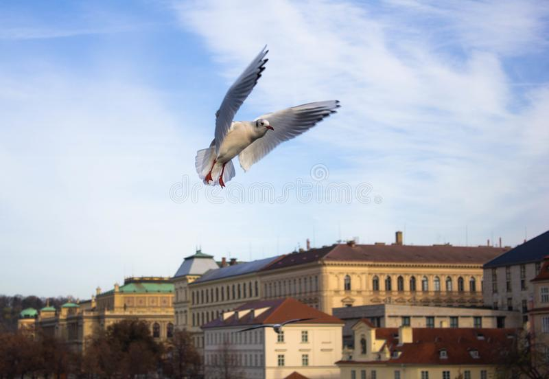 Seagulls on the background of the river and beautiful buildings in Prague on a Sunny day. Beautiful view of the city architecture stock image