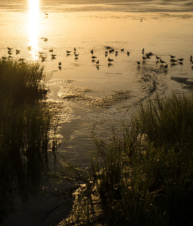 Seagulls bathing in the Laguna Madre sunset. A flock of seagulls bathes in the brackish water of a stream flowing into the Laguna Madre bay. Sunset paints the stock photos