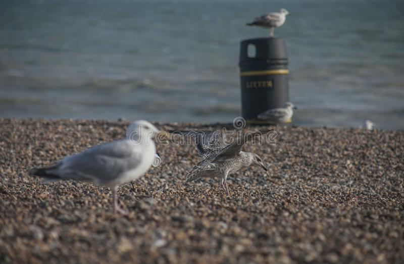 Seagulls on a beach - Brighton, England; sunny day in summer. royalty free stock images