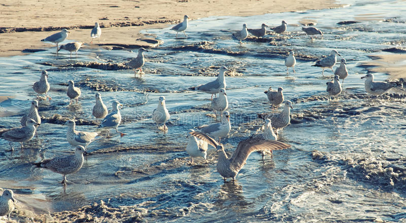 Seagulls on the beach. Large group of seagulls on the beach stock image