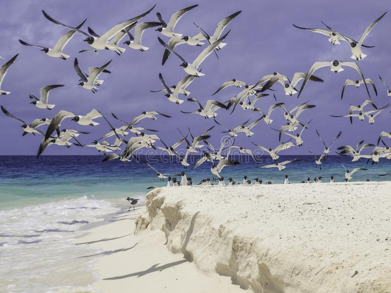 Seagulls beach los roques venezuela royalty free stock images