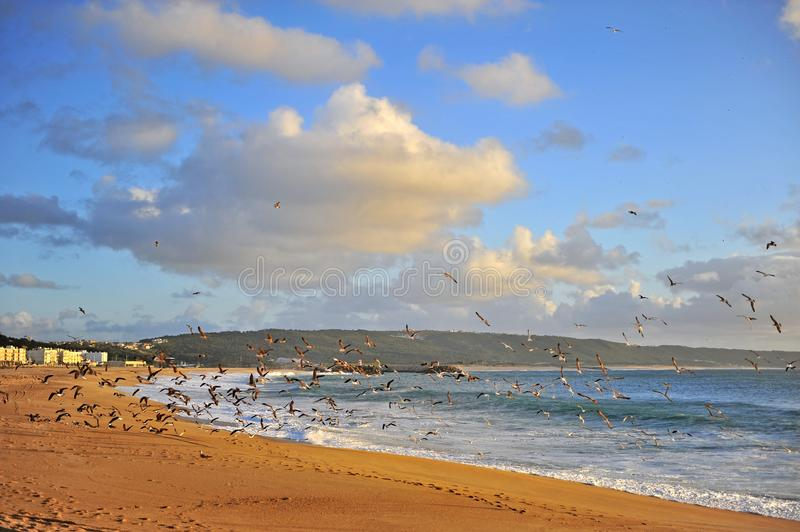 Seagulls on the beach of Nazare resort stock images