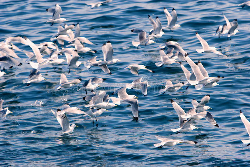 Seagulls on bhe sea royalty free stock photography