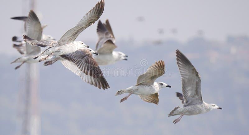 Seagulls bierze daleko obraz royalty free
