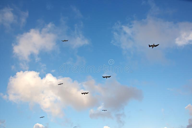 Seagulls and birds hovering in the sky against a background of white and colorful clouds and a coastline. The flight and hovering of sea gulls in the blue sky stock images
