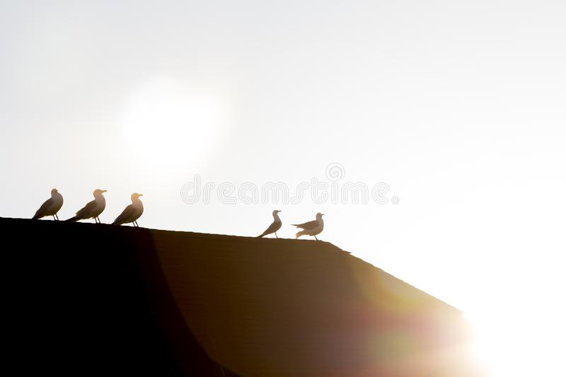 Seagulls resting on rooftop in early sunlight showing only silhouettes stock image