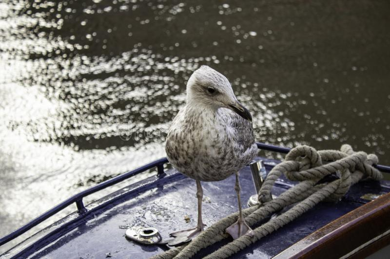 Seagulls in Amsterdam. Seagulls on boats and Amsterdam canal, wild birds, sunlight, flight, young, plumage, ocean, sunshine, solitary, avian, horizontal royalty free stock photography