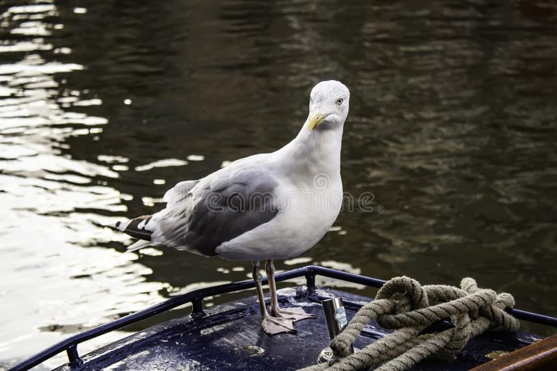 Seagulls in Amsterdam. Seagulls on boats and Amsterdam canal, wild birds, sunlight, flight, young, plumage, ocean, sunshine, solitary, avian, horizontal stock image