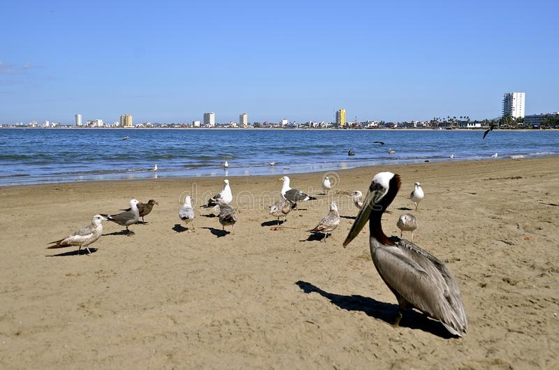 Seagulls and brown pelican on sandy beach stock image