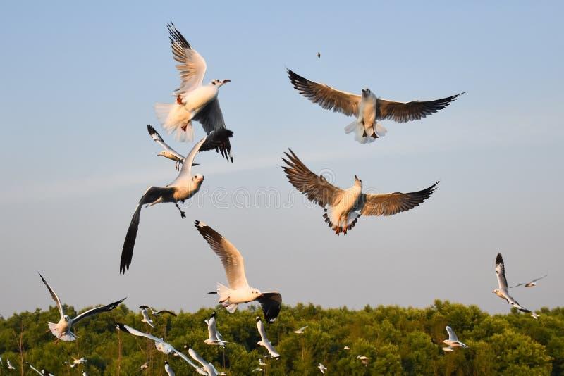 Seagulls are catching the food. At Bangpu Recreation Center Samut Prakan, Thailand royalty free stock images