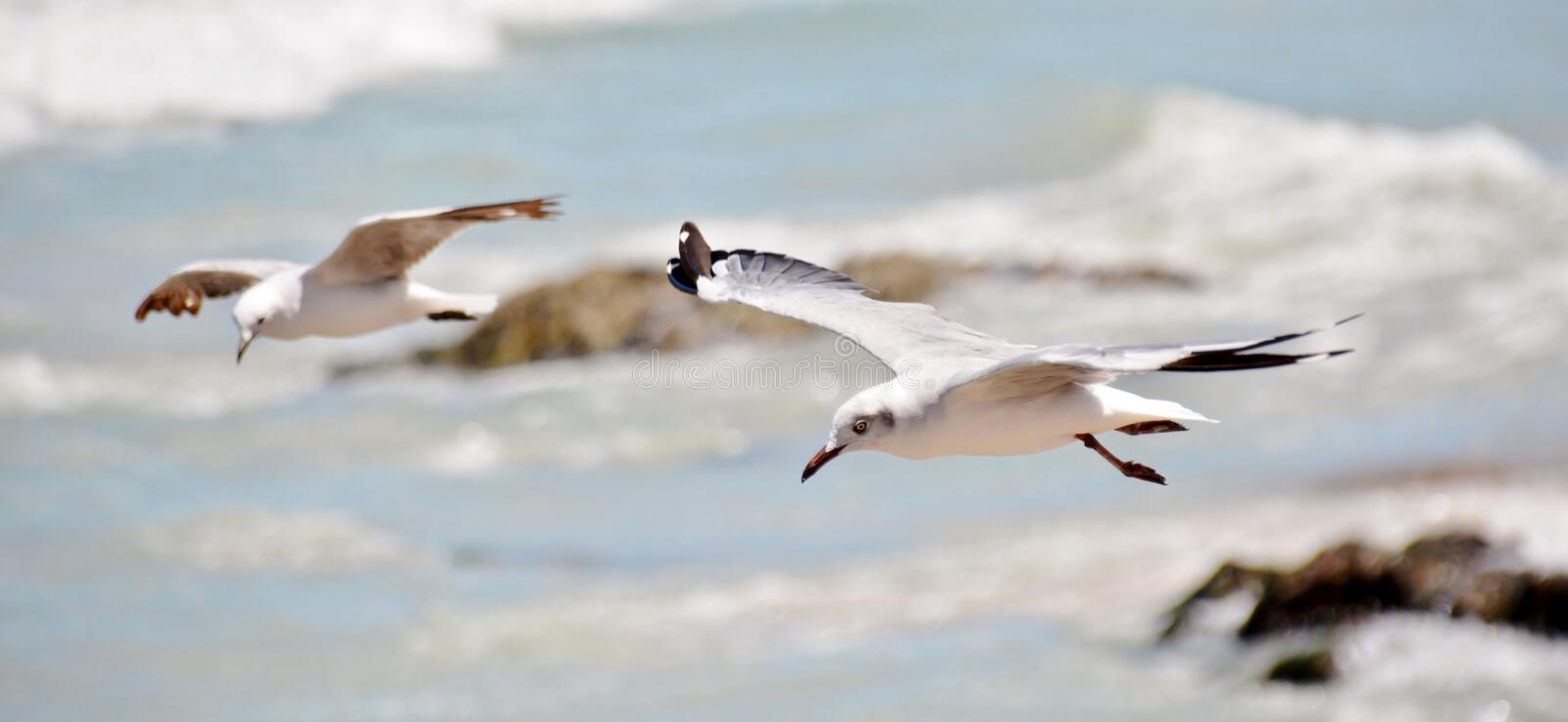 Seagulls. Close up of Seagulls over the Atlantic Ocean royalty free stock image