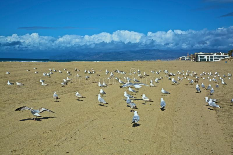 Seagulls coastline Oxnard California. Tan sand Blue sky white clouds and many white seagulls resting on the coastline Mandalay Bay of Oxnard California royalty free stock photo
