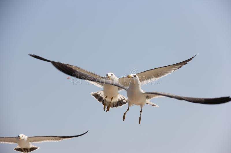 Seagulls are competing for their meals royalty free stock photo