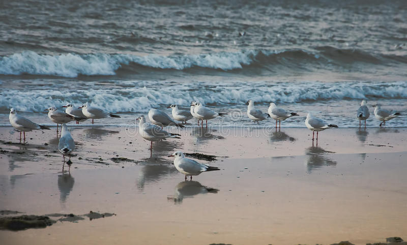 Seagulls at dawn. Seagulls stand on the shore waiting for the warm rays of the sun at dawn royalty free stock photo