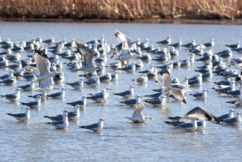 seagulls desantowa woda obraz royalty free