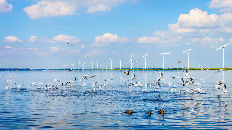 Seagulls and Ducks on the Veluwemeer in the Netherlands with Wind Turbines in a Large Wind Farm royalty free stock photography