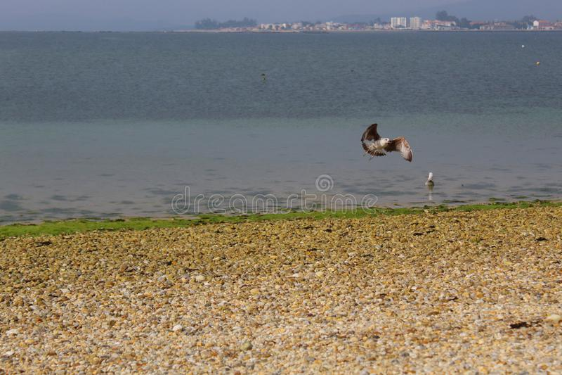 Seagulls eating in the beach. stock photos