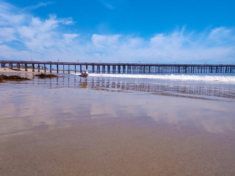 Wide angle ocean view Ventura pier seagull on empty beach. Seagulls enjoy an empty beach near Ventura California Pier clouds reflected on the beach sand in the royalty free stock photo
