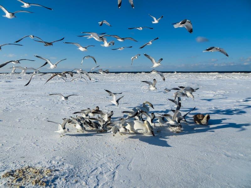 Seagulls försöker att ta bort mat från svanar i vintern av 2018 arkivfoton