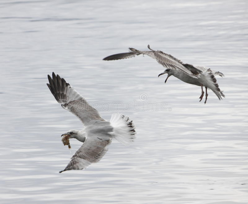 Seagulls fight royalty free stock photo