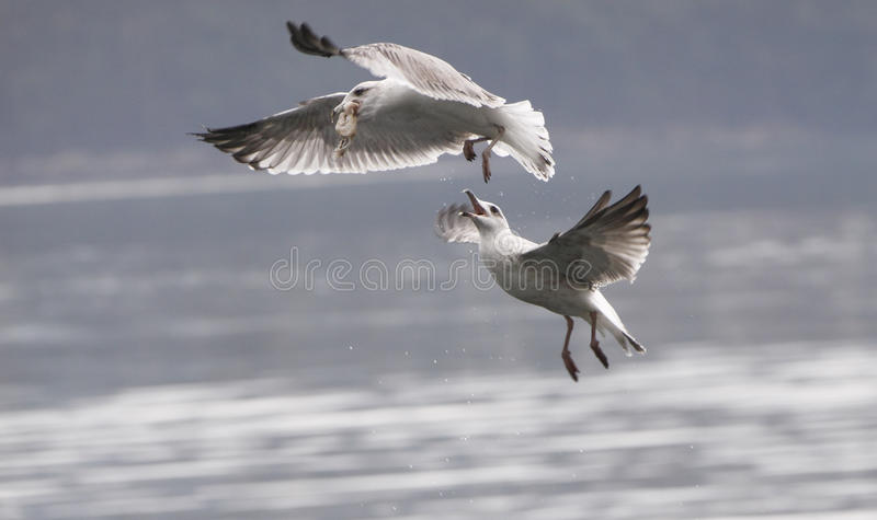 Download Seagulls fight stock photo. Image of fights, gulls, feed - 16701758
