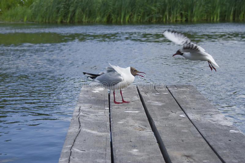 Seagulls fight for a fish royalty free stock photos