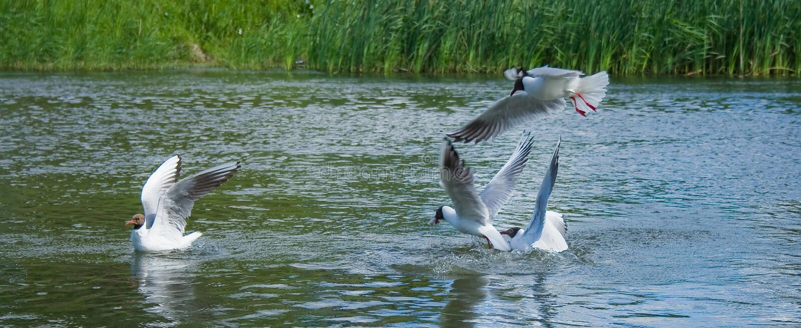 Seagulls fight for a fish stock images