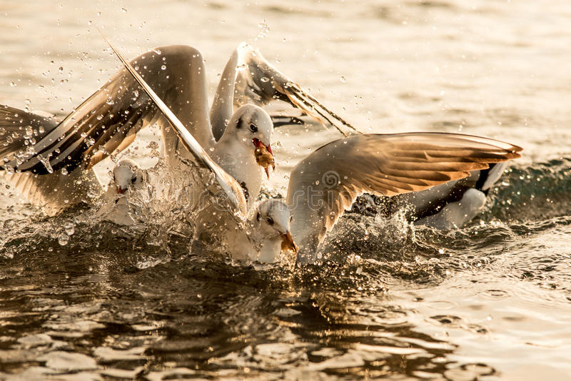 Seagulls fight royalty free stock image