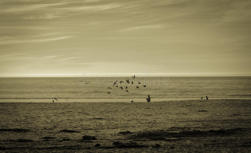 Seagulls fighting for food, Carmel California royalty free stock photos